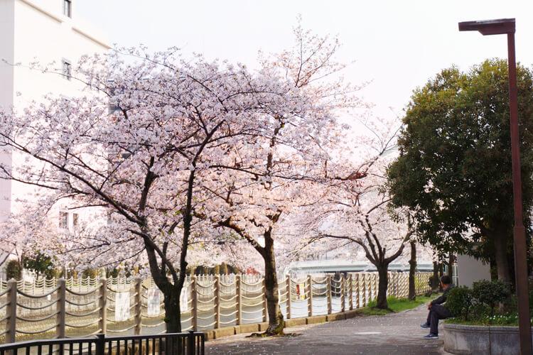 大阪市城東区を流れる城北川の桜
