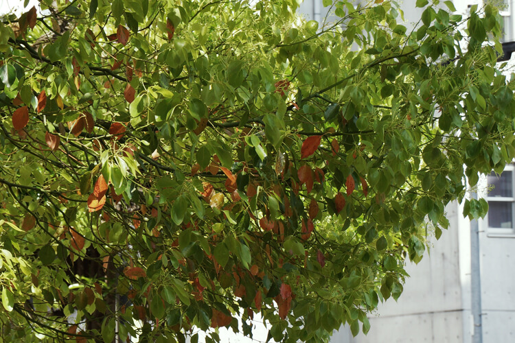 葉が入れ替わるクスノキ